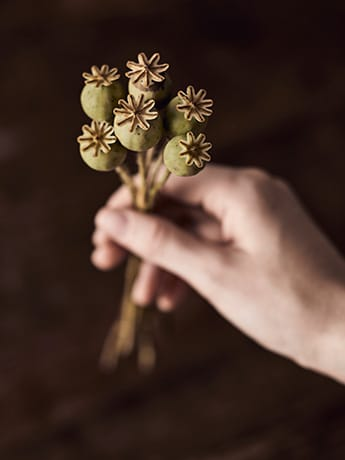 Homeopathy dried poppy heads in hand