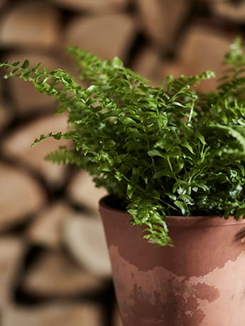 Herb in pot