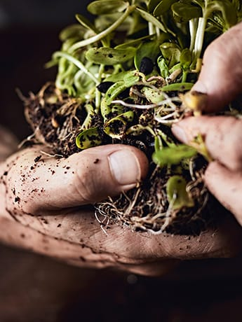 Plant roots in muddy hands