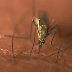 Is your diet making you attractive to mosquitoes?